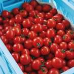 甘味と酸味のバランスが絶妙 プレミアムトマト おもいろトマト 1箱(約1.0kg) 生食 トマト料理 ギフト 贈り物 贈答品 誕生日 プレゼント 業務用