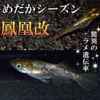 メダカ 鳳凰ラメめだか 未選別 稚魚SS〜Sサイズ 5匹セット 金 ラメ ヒカリ ホタル メダカ 淡水魚