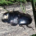 (昆虫) スマトラオオヒラタクワガタ 1ペア ♂71mm ♀フリーmm ジャンビ産