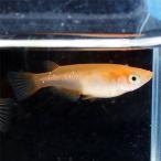 (メダカ) 楊貴妃めだか 10匹セット 赤 楊貴妃 メダカ 淡水魚