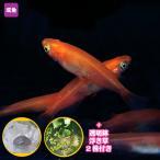 メダカ 楊貴妃めだか Mサイズ 10匹セット + おまけ浮き草 + 透明鉢付き 赤 楊貴妃 水草 浮き草 鉢 水槽 メダカ 淡水魚