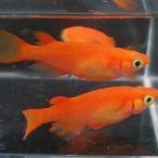 (メダカ) 紅帝 楊貴妃めだか 未選別 稚魚(SS〜Sサイズ) 5匹セット / 赤 紅 メダカ 淡水魚