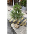 高野槇(コウヤマキ)苗木/60cm〜70cm/種から約11年
