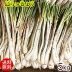 島らっきょう 沖縄産 (生)5kg (送料無料)