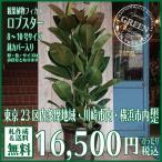 観葉植物 フィカス ロブスター ゴムの木 御祝 15000円 新築祝 開店祝 開業祝 引越祝