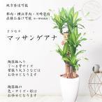 観葉植物 幸福の木 ドラセナ マッサンゲアナ 御祝 10000円 新築祝 開店祝 開業祝 引越祝