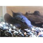 (熱帯魚・シクリッド)フラワーホーン・フライングドラゴン(紅面飛龍) 4cm± 1匹