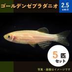 (熱帯魚・コイ)ゴールデンゼブラダニオ SMサイズ 5匹
