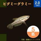 (熱帯魚・アナバス)ピグミー ・グラミー SMサイズ 3匹