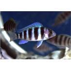 (熱帯魚・アフリカンシクリッド)CY.フロントーサ キゴマ 7ストライプ (独便) 4cm±  1匹