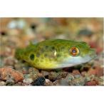 (熱帯魚・フグ) メコンフグ 6cm± 3匹