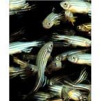 【研究向け魚類】ゼブラフィッシュ 3cm± 200匹