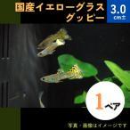 (熱帯魚・メダカ・グッピー)国産イエローグラスグッピー  1ペア