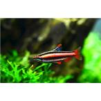 (熱帯魚・カラシン)アークレッドペンシル MSサイズ 3匹