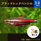 (熱帯魚・カラシン)ブラッドレッド・ペンシル MSサイズ 3匹