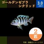 (熱帯魚・アフリカンシクリッド)ゴールデンゼブラシクリッド SMサイズ 10匹