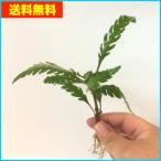 【送料無料・水草】無農薬 ハイグロフィラ・ピンナティフィダ 水上葉  3本