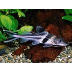 (熱帯魚・ナマズ)  スピンドルキャット 7cm± 1匹