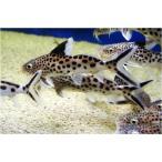 (熱帯魚・ナマズ) シノドンティス・ムルティプンクタータス 8cm± WILD 1匹
