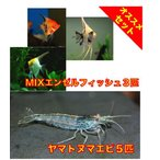 【初心者向け安心セット】MIXエンゼルフィッシュSMサイズ3匹・ヤマトヌマエビ5匹 セット
