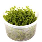 (Tropica・水草) ニューラージパールグラス 1・2・grow!(tropicaトロピカ) 1カップ