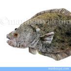 魚 ヒラメ ぬいぐるみ TST太洋産業貿易 さかなクン おさかなぬいぐるみ 鮃 47cm画像