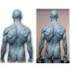 Abz Company人体 筋肉 模型 30cm 人体模型 医学 解剖 教育 整形 外科 絵画 モデル デッサン 男性 女性 グレー 自立
