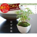 父の日ギフト こけ盆栽 盆栽  送料無料 盆栽 はぜ 父の日プレゼント お父さん