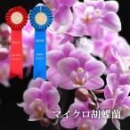 母の日 2021 鉢植え 花 ギフト 選べる マイクロ 胡蝶蘭 鉢植えの花 花鉢 コチョウラン 洋ラン 生花 プレゼント 還暦 古希 喜寿 祝い 母 祖母
