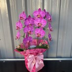 Yahoo!flowershopマルハナおまかせ洋蘭ギフト【送料無料】ラン 花 ギフト ビジネス 開業祝/開店祝/移転祝い/お誕生日/各種ギフト/お供えに