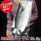 中央市場のトロぶり半身 愛媛県産 生食OK!ぶり半身(カマ付約1.3-1.5k前後 ウロコ付)ぶり 鰤 しゃぶ 丼 刺身 #元気いただきますプロジェクト