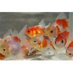 国産金魚 桜東錦 2匹セット (全長約7−8cm)長尾氏 作 選りなし