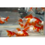 国産金魚 サラサ和金 2才 2匹セット(全長約9-10cm)愛知 木下氏 選りなし