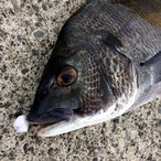 NEVER LATE JAPAN フジツボっち チヌ落とし込み釣りフジツボ型ルアー ゆうパケットなら送料300円