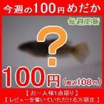 (メダカ)今週の100円めだか 青みゆき(幹之)めだか 未選別 稚魚 SS-Sサイズ 10匹セット(お一人様1点限り)