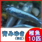 (メダカ)青みゆき(幹之)めだか 未選別 稚魚 SS-Sサイズ 10匹セット / 幹之メダカ