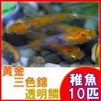 (メダカ)黄金三色錦透明鱗めだか 稚魚 SS-Sサイズ 10匹セット / 三色透明鱗メダカ