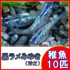 (メダカ)黒ラメみゆき(幹之)めだか 虹色ラメ 未選別 稚魚 SS-Sサイズ 10匹セット / 幹之メダカ
