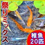 (メダカ)祭りミックスめだか 稚魚 SS-Sサイズ 20匹セット