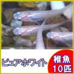 (メダカ)ピュアホワイトめだか 稚魚 SS-Sサイズ 10匹セット