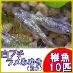 (メダカ)白ブチラメみゆき(幹之)めだか 虹色ラメ 未選別 稚魚 SS-Sサイズ 10匹セット / 幹之メダカ
