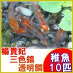 (メダカ)楊貴妃三色錦透明鱗めだか 稚魚 SS-Sサイズ 10匹セット / 三色透明鱗メダカ