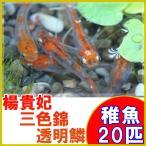 (メダカ)楊貴妃三色錦透明鱗めだか 稚魚 SS-Sサイズ 20匹セット / 三色透明鱗メダカ