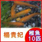 (メダカ)楊貴妃めだか 稚魚 SS-Sサイズ 10匹セット / 楊貴妃メダカ
