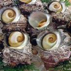 日本海の荒波で育った「活さざえ」大 5個×約100-150g(浜坂産) (サザエ)