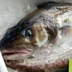 (送料無料)真鱈(生) 1尾 約4.5-4.9kg(オス・白子入)(浜坂産) (同梱不可) (タラ・本鱈・ホンダラ・たら)