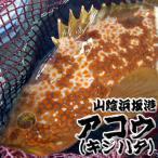 超高級魚 活・アコウ(生)1尾 約500〜590g前後(浜坂産) 活かしてますので、発送直前に〆てお届け致します。(キジハタ、アカミズ、赤水)