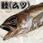 ムツ(生) 1尾 約400-490g (浜坂産)(むつ、クロムツ、くろむつ、睦)