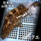 天然 活・クエ(活生) 1尾 約2.5〜3.0kg前後(浜坂産) (くえ、アラ、あら)