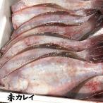 (煮付け・唐揚げ用)下処理済・赤かれい(冷凍)1尾×約28-31cm程度 (浜坂産)下処理済みなので、解凍後、すぐに調理できます(赤カレイ・カレイ・鰈・姿)